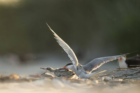 An adult Common Tern attacks a Black Skimmer chick as it tries to run away on a sandy beach in the glowing sun.