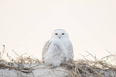 A Snowy Owl perched on top of a sand dune with brown grass and a white sky background.