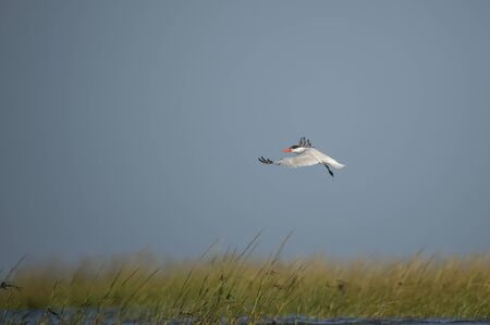 A Caspian Tern flies over bright green marsh grass with a bright blue sky on a sunny day.