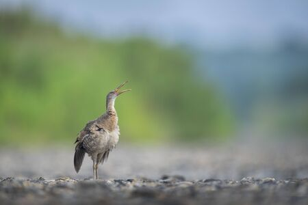 A goofy Clapper Rail walked out of the marsh onto the open road and opened its beak up in the air with its wings stretched down.