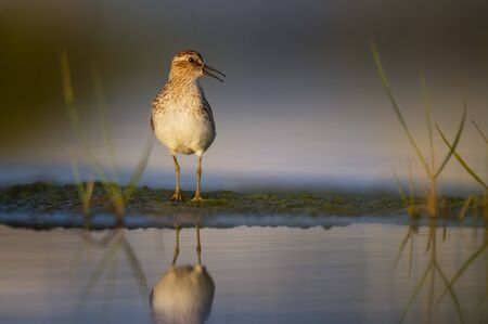 A Least Sandpiper in golden morning sunlight with a clear reflection.