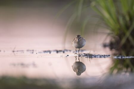 A Least Sandpiper stands in shallow water with its reflection with a pink sky reflected in the calm water at dusk.