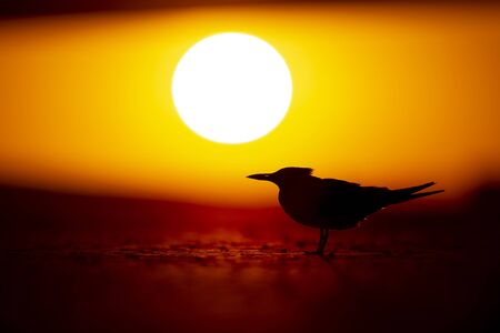 A Royal Tern silhouetted with a setting sun in the background on a sandy beach.
