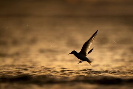 A Least Tern flies out of the water silhouetted against the orange water at sunrise.