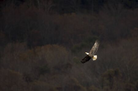An adult Bald Eagle flies in front of dark trees as the sun shines on the birds wings. Reklamní fotografie