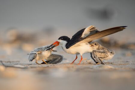 An adult Black Skimmer is attacked by its two chicks on the beach as it returns with a fish to feed them.