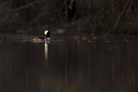 A male Hooded Merganser swims in the water in the bright morning sunlight with a dark black background in shade.