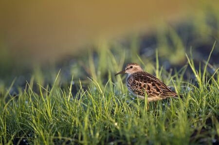 A Least Sandpiper stands in the short bright green grass in the early morning sun.