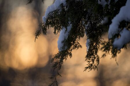 A pine branch covered in snow with a golden sunrise out of focus background.