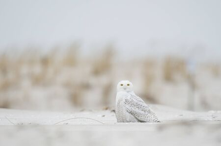 A Snowy Owl sitting on the sandy beach with brown dune grass on an overcast cold winter day.