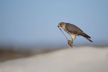 A Merlin tears into prey with red guts showing as its perched on a branch low on a sandy beach in the bright sun. Stockfoto