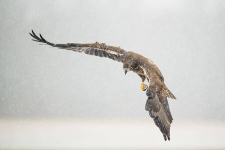 A juvenile Bald Eagle flies over an open field in the falling snow on a cold winter day.