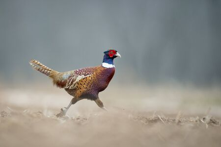 A Ring-necked Pheasant walks in an open field in soft overcast light on a winter day.