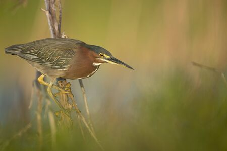 A Green Heron perched on a branch with a smooth green background in the bright morning sunlight. Stock Photo