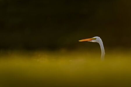 A Great Egret head peeking out from behind a grassy hill as it glows in the setting sunlight against a dark background.