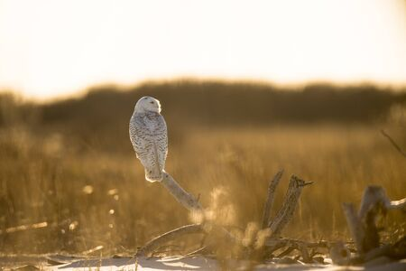 A Snowy Owl perched on driftwood glows in the bright winter sun with brown and golden dune grass in the background.
