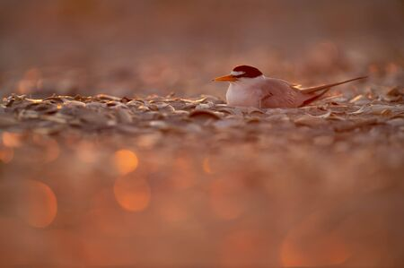 A Least Tern sitting on its nest glowing in the pink sunrise light on a shell covered beach. Stok Fotoğraf