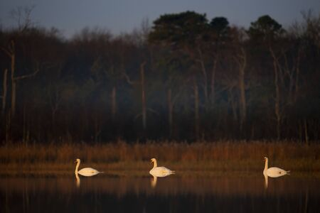 A trio of Mute Swans float on calm water as they glow in the golden early morning sunlight in a picturesque scene.