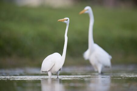 A Great Egret wades in the shallow water searching for small fish and food in soft light with a smooth green background.