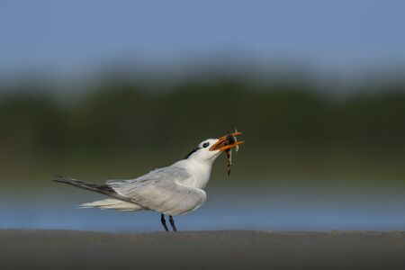 A Royal Tern standing on sand with a Sea Robin Fish in its beak with a smooth green and blue background.