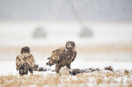 A pair of juvenile Bald Eagles feeding on a carcass in the snow on a cold winter day.