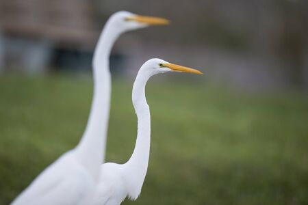 A close-up of a Great Egret with a smooth green background and out of focus egrets around it. 版權商用圖片