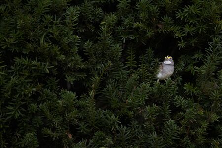 A White-throated Sparrow peeking out from a dense green bush in soft overcast light.