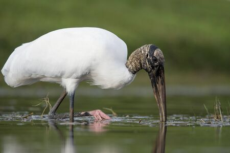 A Wood Stork wading in shallow water as it hunts for small fish in the soft overcast light with a smooth green background.