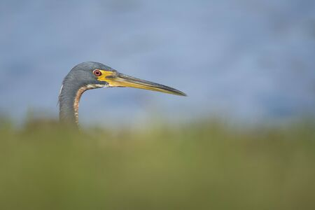 A Tricolored Heron peeks from behind some bright green grass with a smooth water background in the bright sunlight. Banco de Imagens
