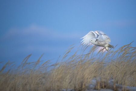 A Snowy Owl flying in front of the moon over dune grasses on a beach with a dusky blue sky background.