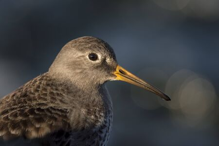 A close-up of a Purple Sandpiper in the morning sunlight with a smooth dark blue water background. Stock Photo