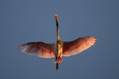 A Roseate Spoonbill flies directly overhead showing off its spoon shaped bill and bright pink wings against a blue sky. Banco de Imagens