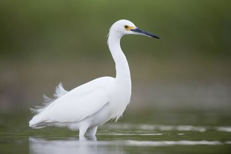 A Snowy Egret stalks prey in shallow water in soft overcast light with a smooth green background.