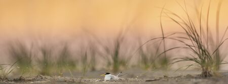 A Least Tern sits on its nest on a sandy beach with dune grasses around it with a pastel pink and orange sky at dawn.