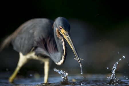 A Tricolored Heron stalks the shallow water in the early morning sun with a dark background and dramatic lighting. Stock Photo