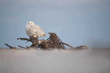 A Snowy Owl perched on large driftwood on a sandy beach in the winter with a pastel blue dusk sky background. Stockfoto