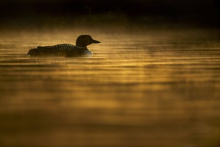 A Common Loon swims in the early morning sunlight as it makes the low hanging fog glow around the bird in the water.