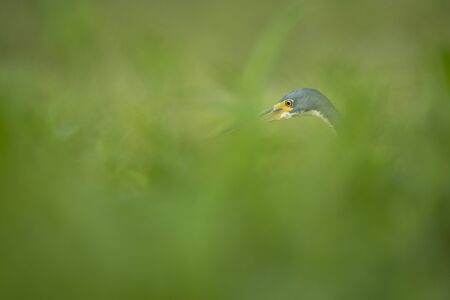 A Tricolored Heron stares ahead as it hunts for food in the tall grass in soft overcast light.