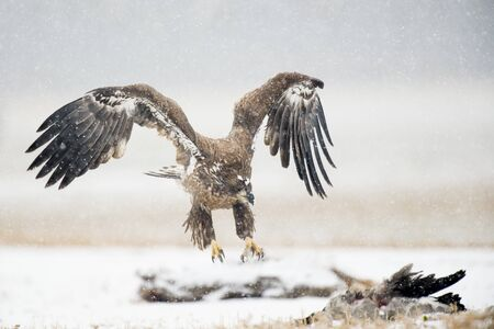 A Juvenile Bald Eagle flying in the snow in an open field with a carcass on the ground.