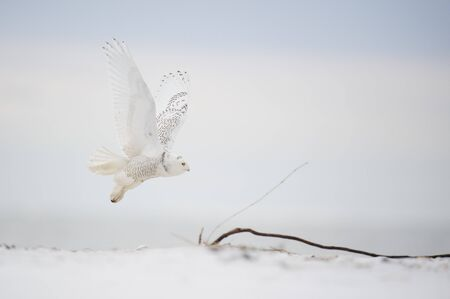 A Snowy Owl flies over a sandy beach in soft overcast light on a cold winter day.