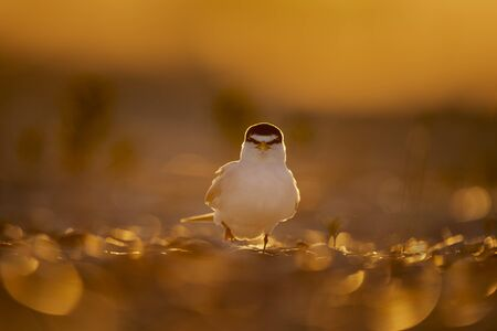 A Least Tern walks on a sandy and shell covered beach as it glows in the golden morning sunlight and looks intimidating viewed head on.