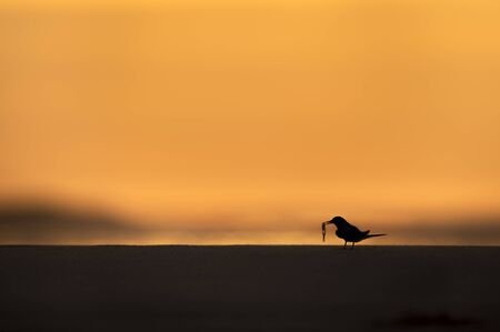 A Least Tern silhoueted against the dawn sky as it holds a translucent fish in its beak on a sandy beach.