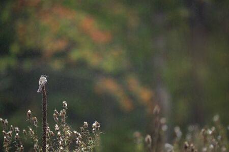 An Eastern Phoebe perched on dead Mullein in a very light rain with an out of focus green adn orange tree background in a wide open field.