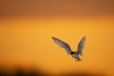A Least Tern with its wings spread as it comes in to land with a golden yellow and orange sunset sky in the background.