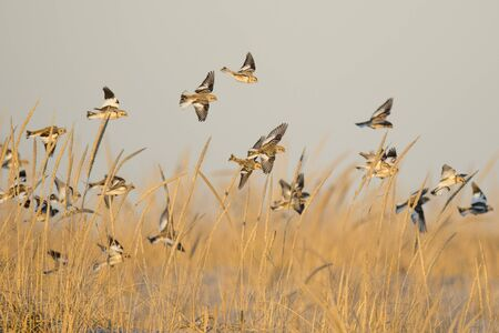 A flock of Snow Buntings flying and landing in the golden dune grasses in the bright sunlight. Stock Photo
