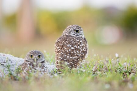 A pair of Florida Burrowing Owls standing in the grass in soft morning sunlight with a smooth background.