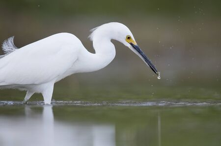 A white Snowy Egret wades in the shallow water catching small minnnows in its beak in soft light with a smooth background.