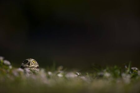 A Florida Burrowing Owl peeks out of the burrow in the grass with a dark background and a funny staring expression Banco de Imagens