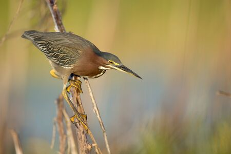 A Green Heron perched on a branch with a smooth green background in the bright morning sunlight. Standard-Bild