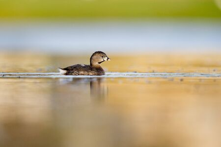 A Pied-billed Grebe floating on calm water in the soft early morning sunlight with a smooth out of focus background.